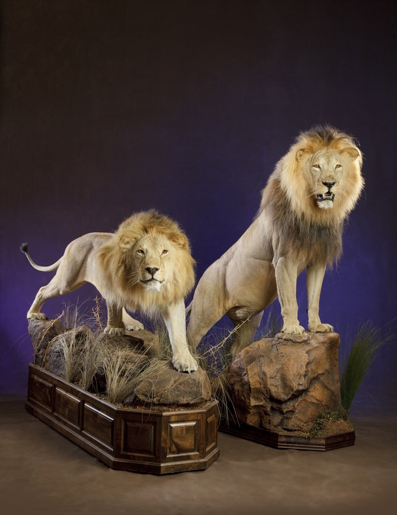 Delta American lion